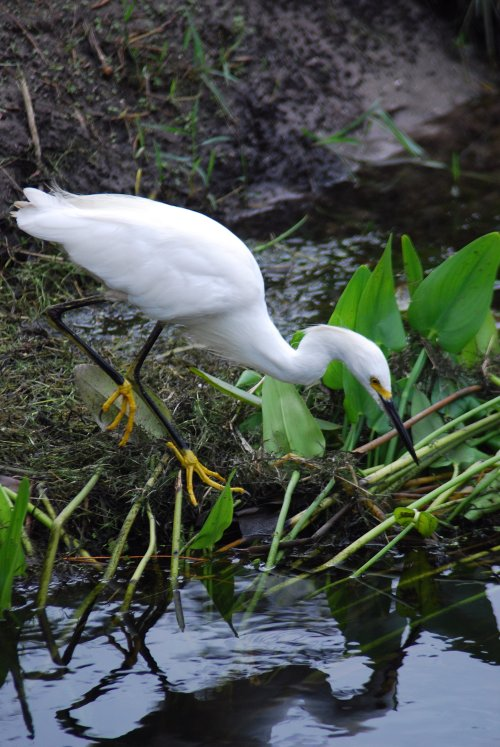 thesis statement for a white heron Critical analysis of white heron the white heron is a spiritual story portraying great refinement and concerns with higher things in life a 9 year old girl once isolated in the city found.